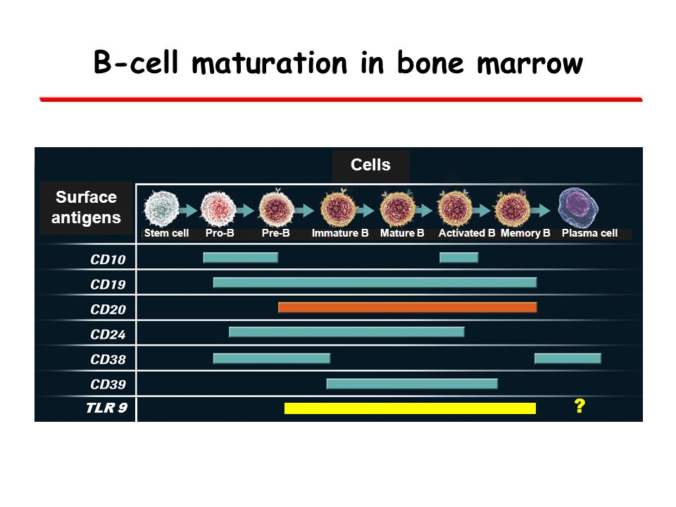 B-cell maturation in bone marrow