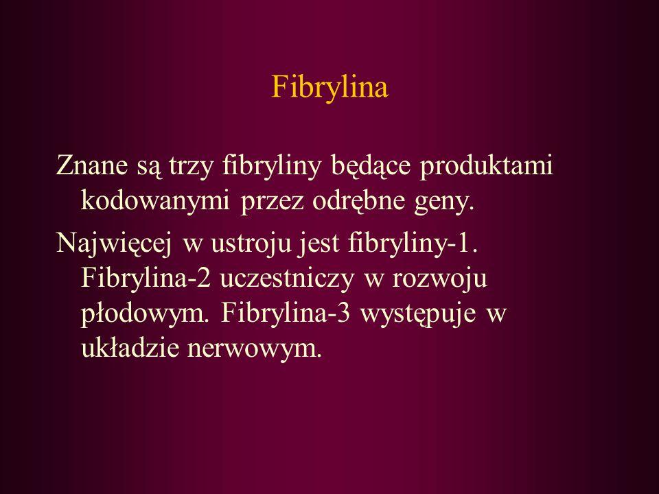 Fibrylina Znane są trzy fibryliny będące produktami kodowanymi przez odrębne geny.