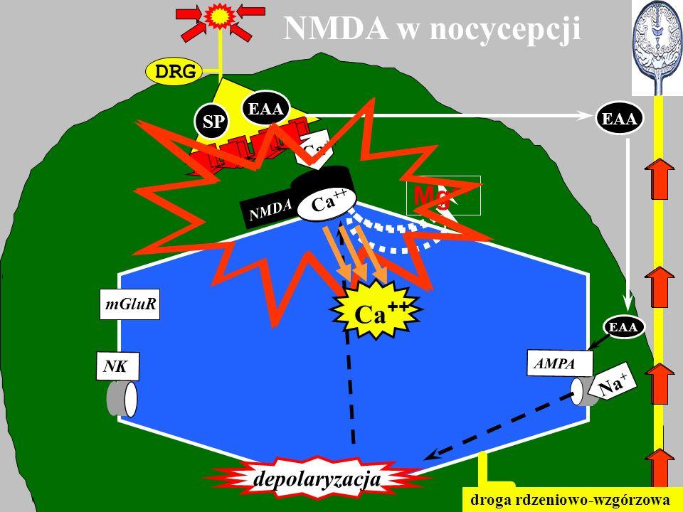 NMDA w nocycepcji Mg++ Ca++ DRG depolaryzacja SP Ca++ Ca++ Mg++ Na+