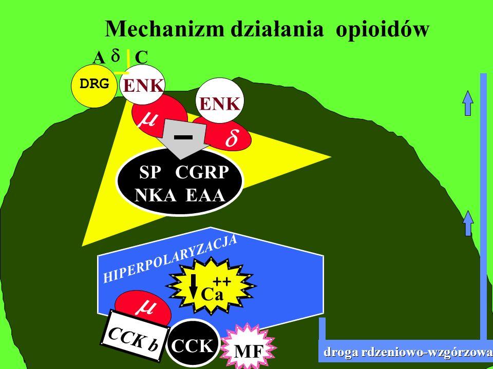 m m d Mechanizm działania opioidów A d C ENK ENK SP CGRP NKA EAA Ca