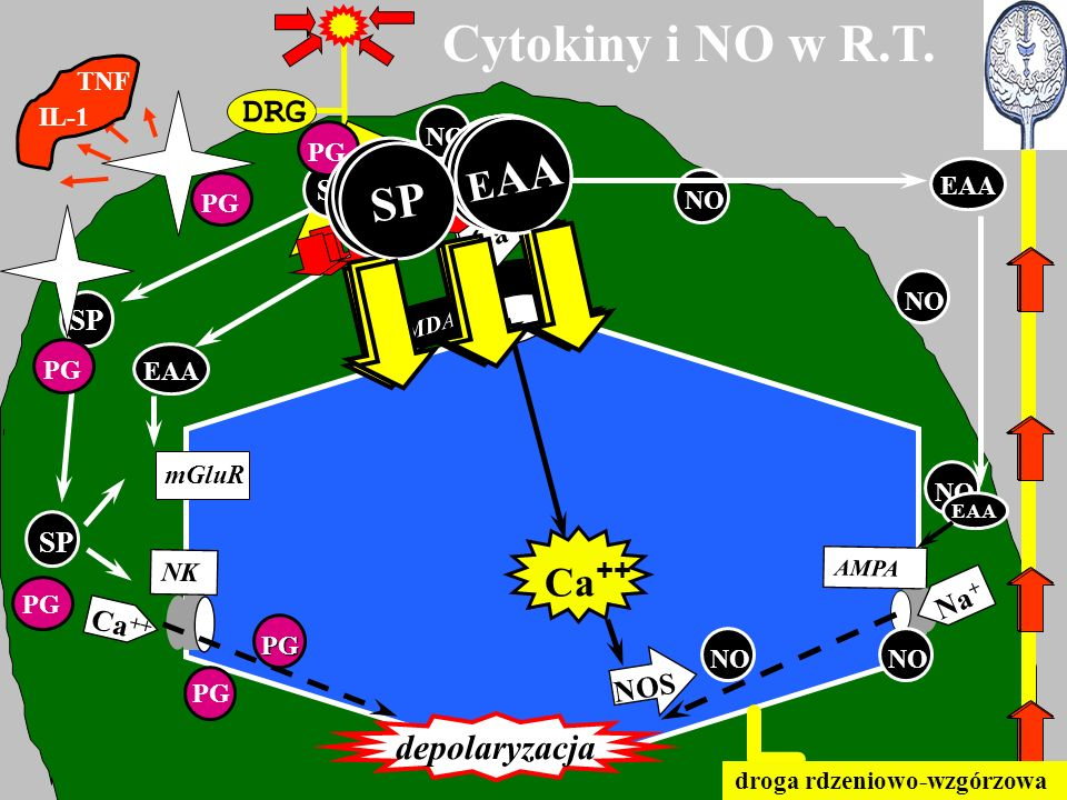 Cytokiny i NO w R.T. EAA EAA SP SP SP EAA Ca++ DRG depolaryzacja SP