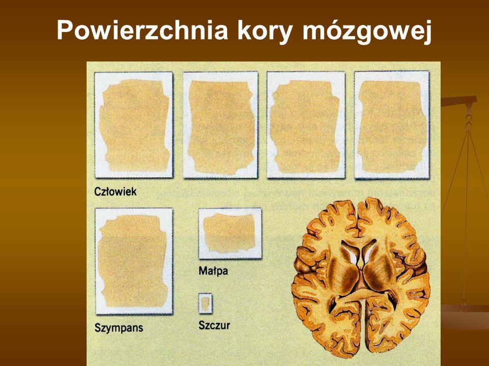 Powierzchnia kory mózgowej