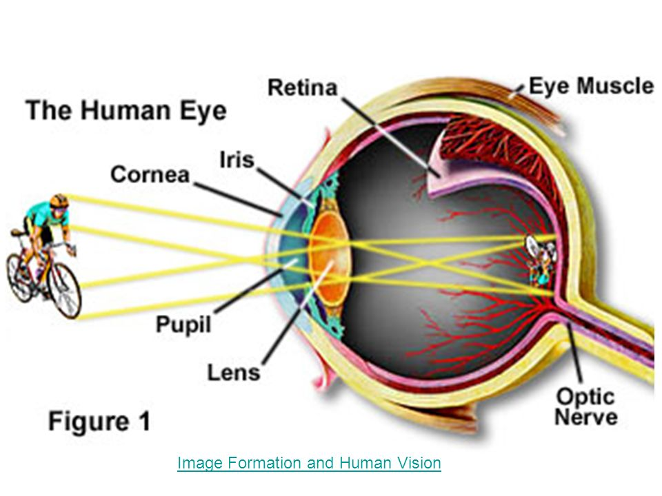 Image Formation and Human Vision