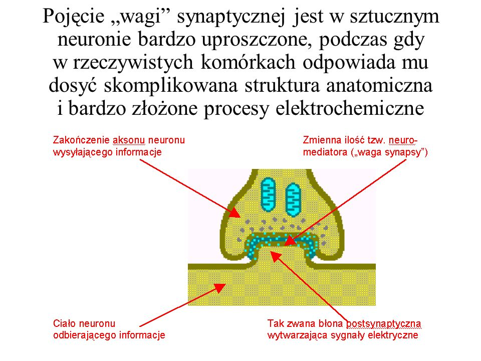 """Pojęcie """"wagi synaptycznej jest w sztucznym neuronie bardzo uproszczone, podczas gdy w rzeczywistych komórkach odpowiada mu dosyć skomplikowana struktura anatomiczna i bardzo złożone procesy elektrochemiczne"""