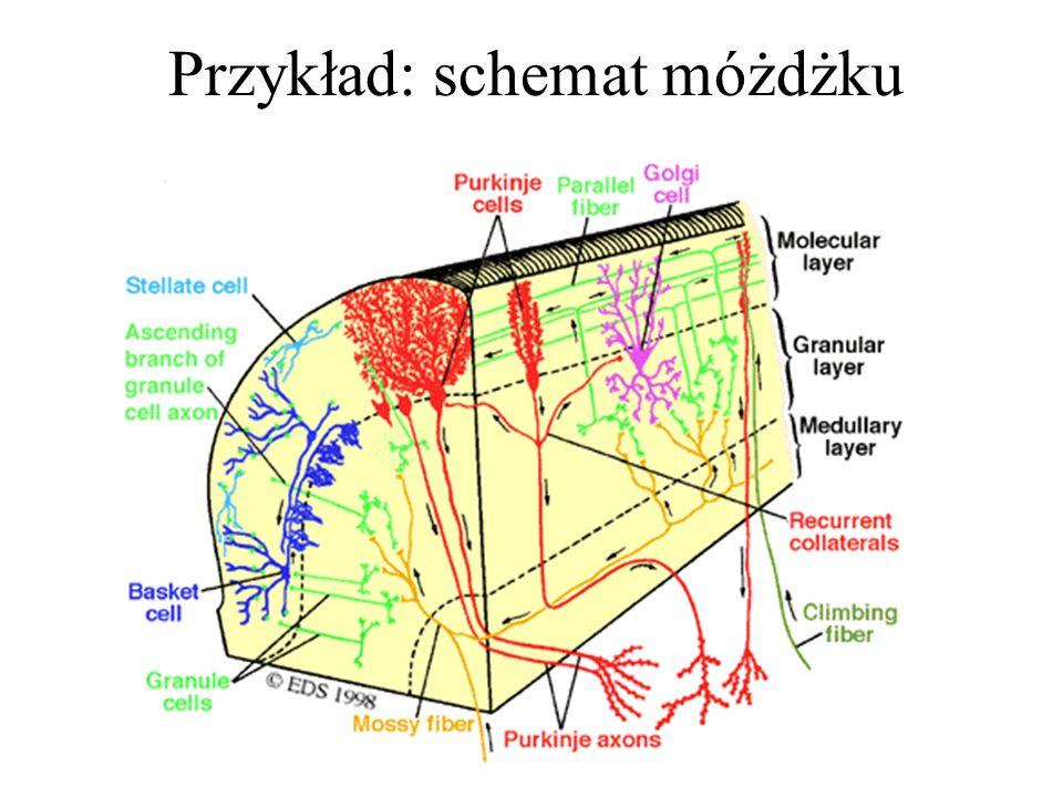 Przykład: schemat móżdżku