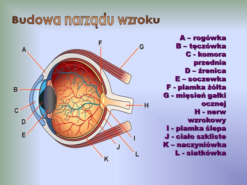 Budowa narządu wzroku A – rogówka B – tęczówka C - komora przednia