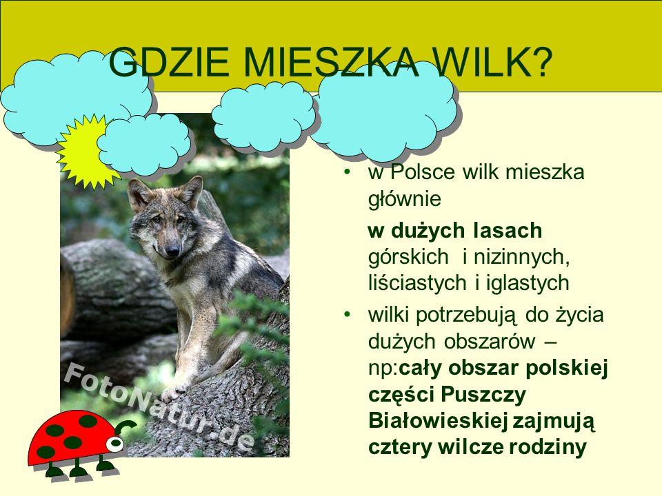 GDZIE MIESZKA WILK w Polsce wilk mieszka głównie