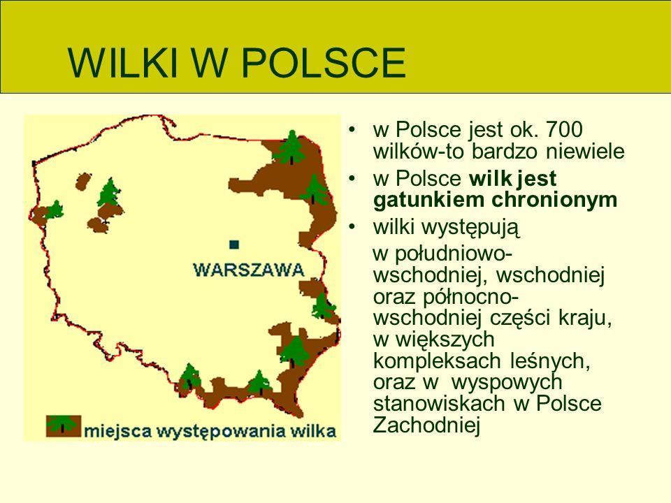 WILKI W POLSCE w Polsce jest ok. 700 wilków-to bardzo niewiele