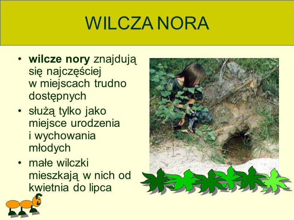 WILCZA NORA wilcze nory znajdują się najczęściej w miejscach trudno dostępnych.