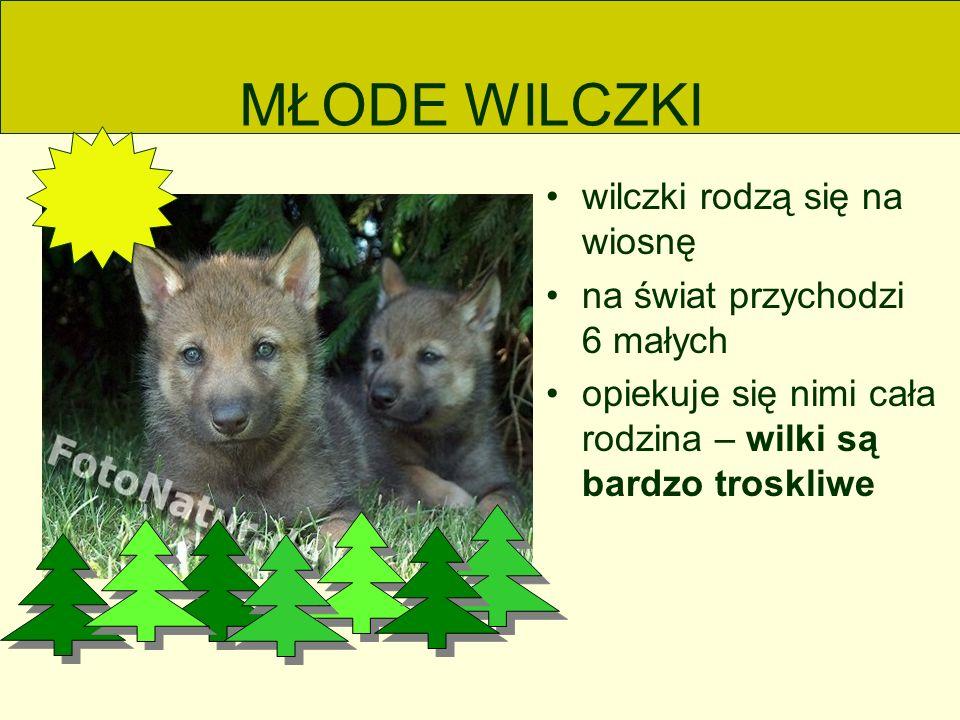 MŁODE WILCZKI wilczki rodzą się na wiosnę na świat przychodzi 6 małych