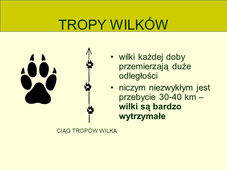 TROPY WILKÓW wilki każdej doby przemierzają duże odległości