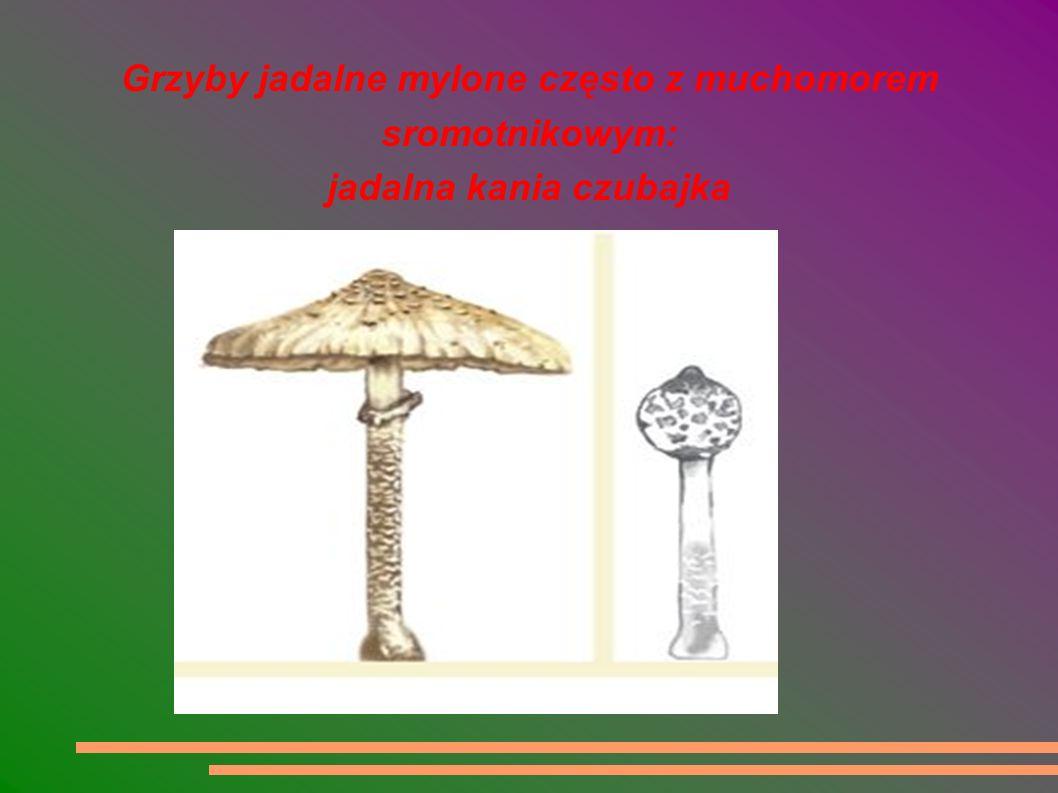 Grzyby jadalne mylone często z muchomorem sromotnikowym: jadalna kania czubajka