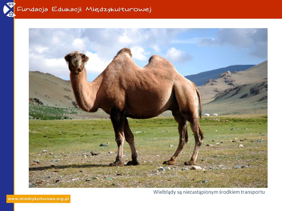 Wielbłądy są niezastąpionym środkiem transportu