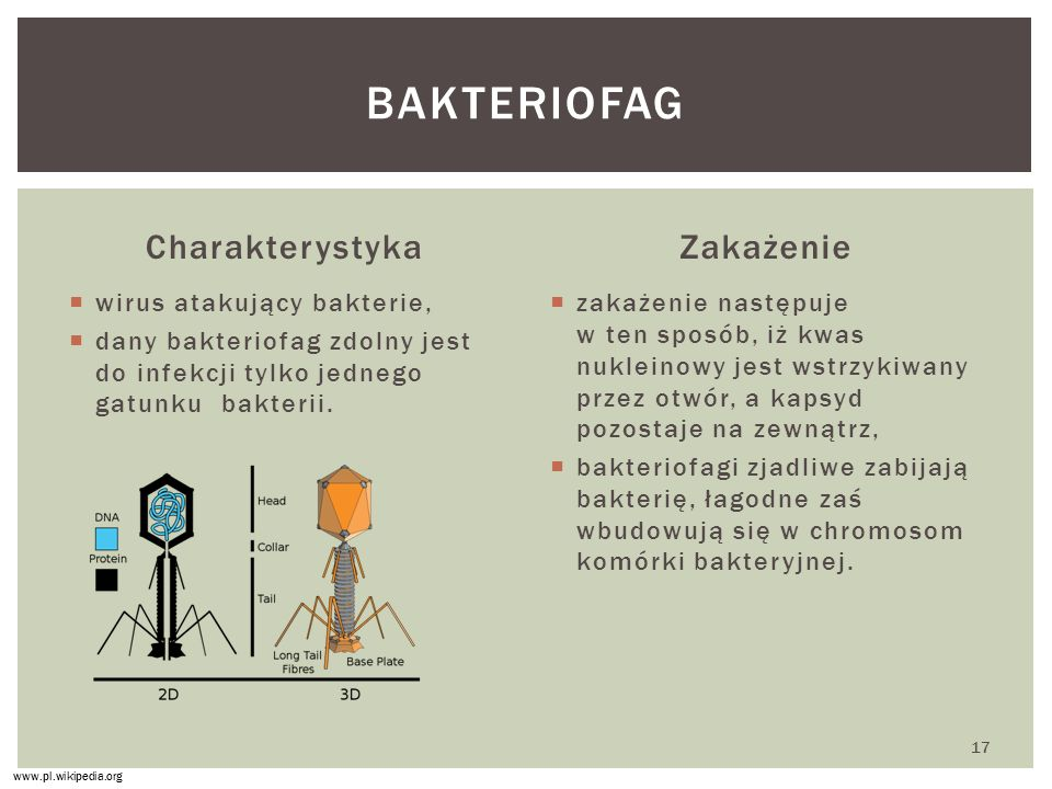 bakteriofag Charakterystyka Zakażenie wirus atakujący bakterie,