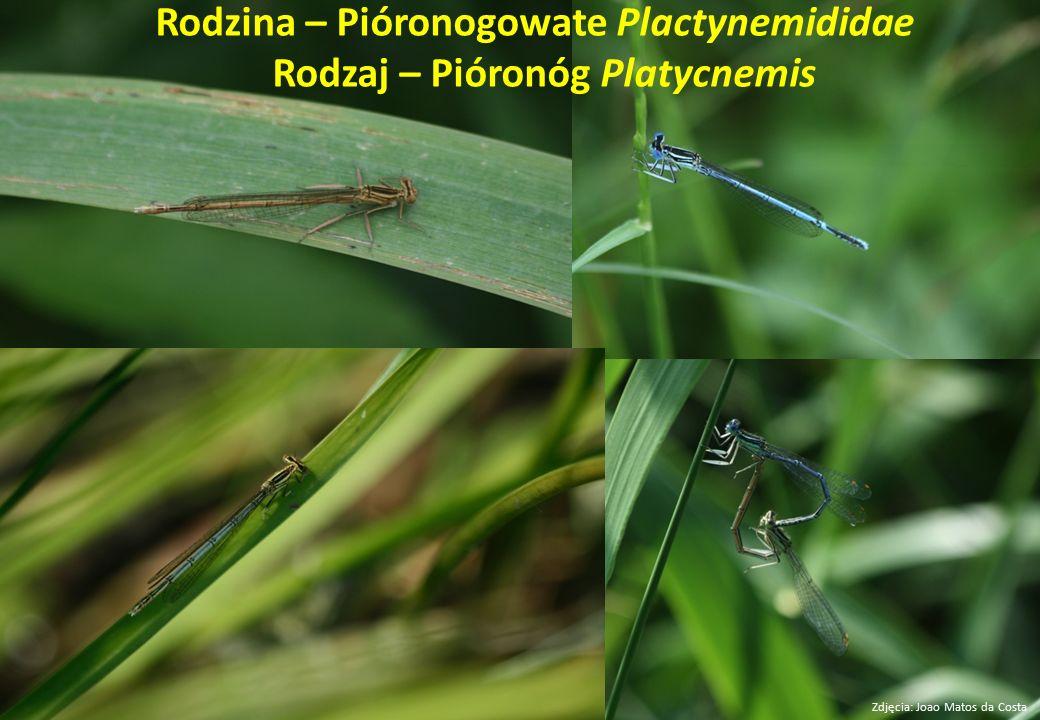 Rodzina – Pióronogowate Plactynemididae Rodzaj – Pióronóg Platycnemis