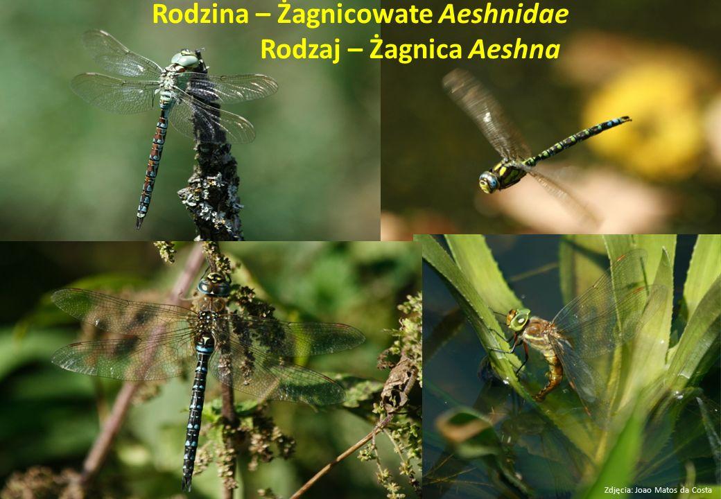 Rodzina – Żagnicowate Aeshnidae Rodzaj – Żagnica Aeshna