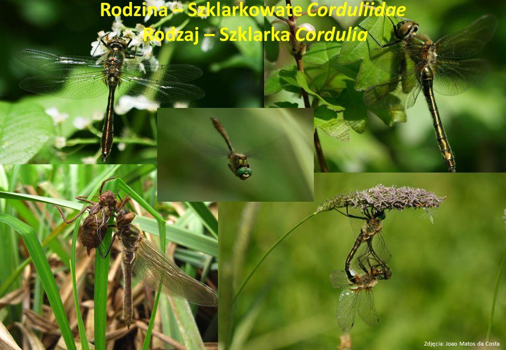 Rodzina – Szklarkowate Corduliidae Rodzaj – Szklarka Cordulia