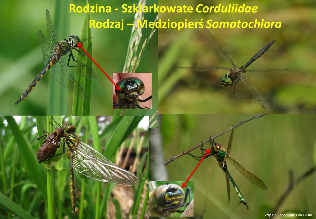 Rodzina - Szklarkowate Corduliidae Rodzaj – Medziopierś Somatochlora