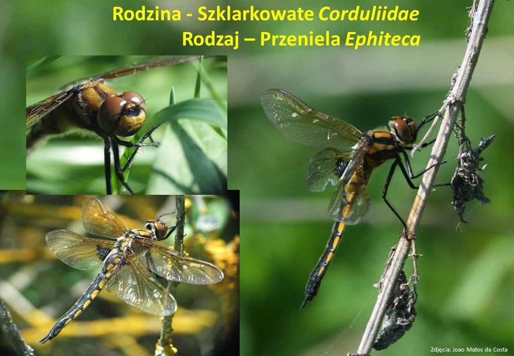 Rodzina - Szklarkowate Corduliidae Rodzaj – Przeniela Ephiteca