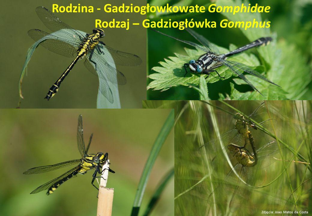 Rodzina - Gadziogłowkowate Gomphidae Rodzaj – Gadziogłówka Gomphus
