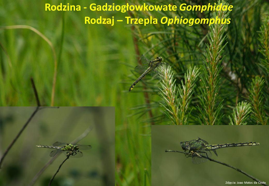 Rodzina - Gadziogłowkowate Gomphidae Rodzaj – Trzepla Ophiogomphus