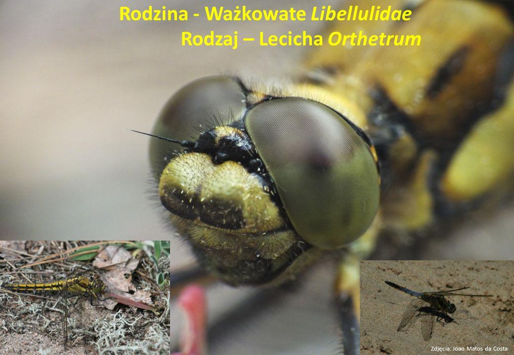 Rodzina - Ważkowate Libellulidae Rodzaj – Lecicha Orthetrum