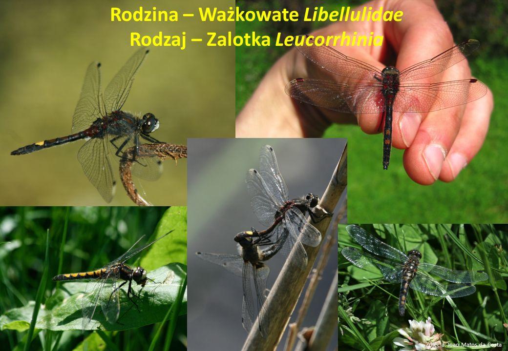 Rodzina – Ważkowate Libellulidae Rodzaj – Zalotka Leucorrhinia
