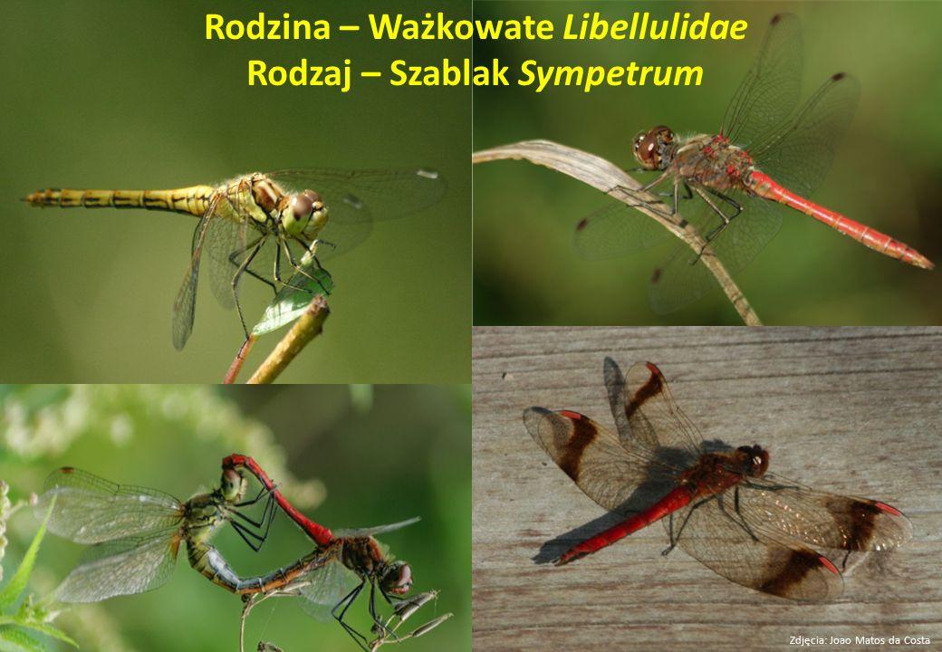 Rodzina – Ważkowate Libellulidae Rodzaj – Szablak Sympetrum