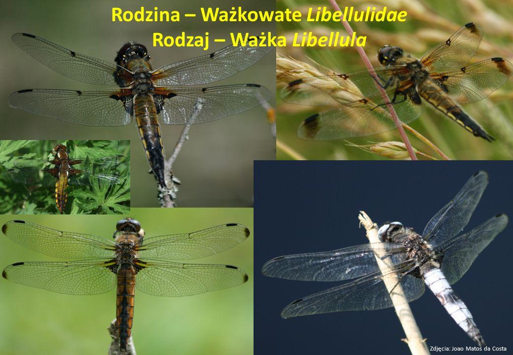 Rodzina – Ważkowate Libellulidae Rodzaj – Ważka Libellula