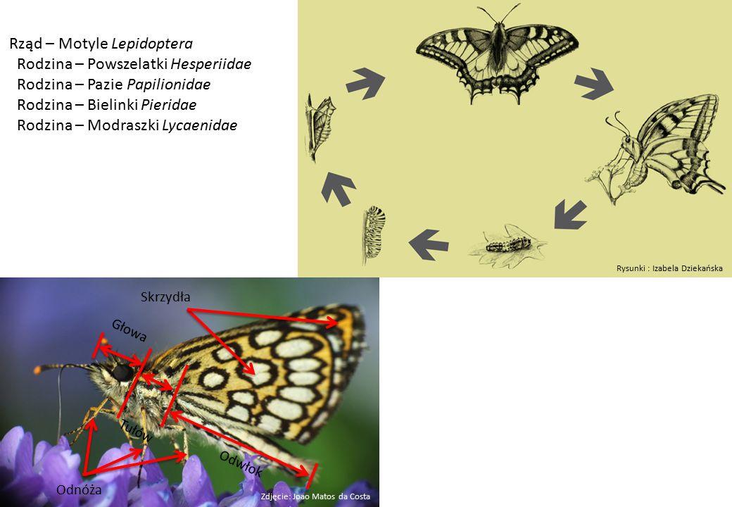 Rząd – Motyle Lepidoptera Rodzina – Powszelatki Hesperiidae