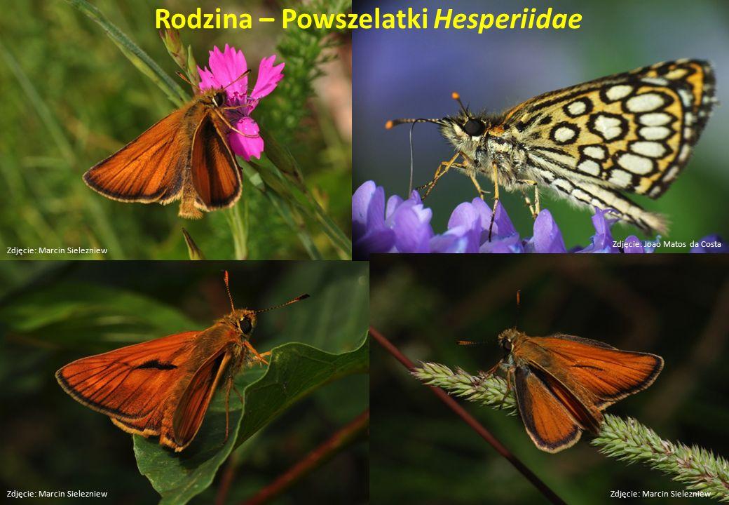 Rodzina – Powszelatki Hesperiidae