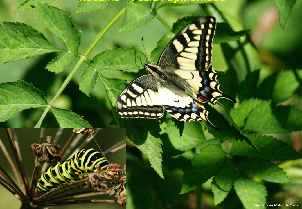 Rodzina – Pazie Papilionidae
