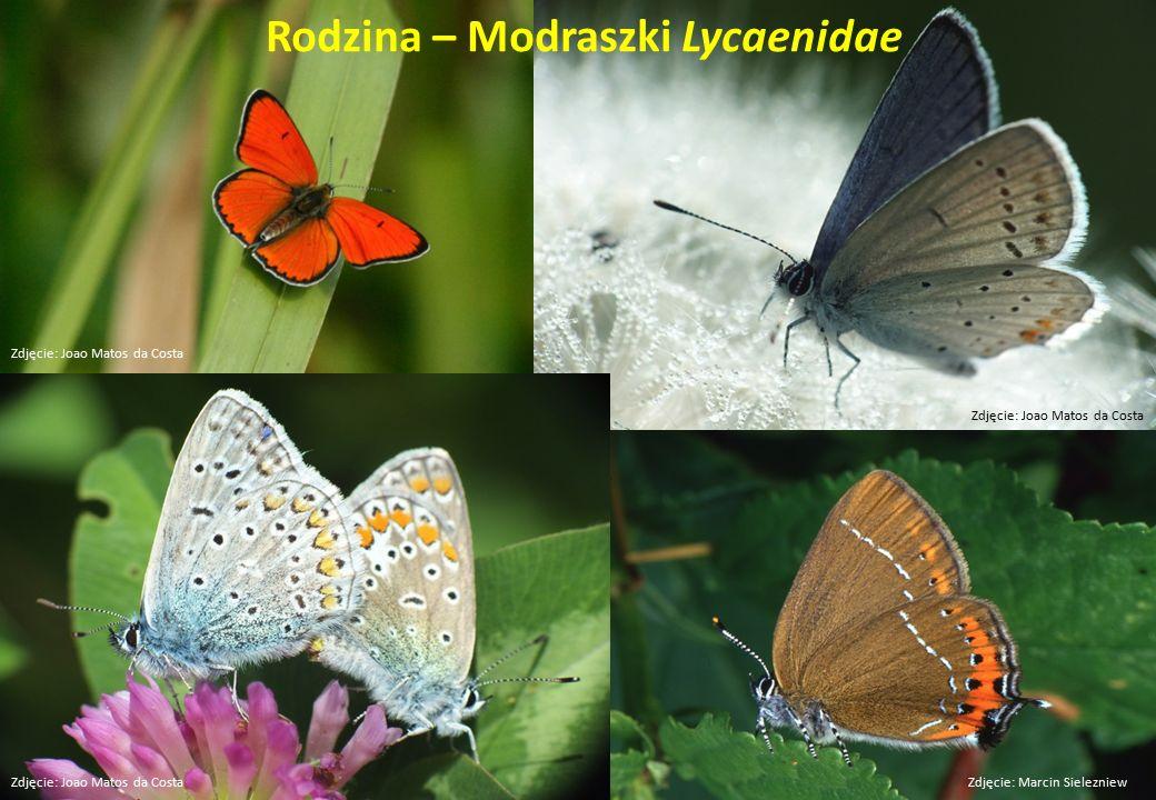 Rodzina – Modraszki Lycaenidae