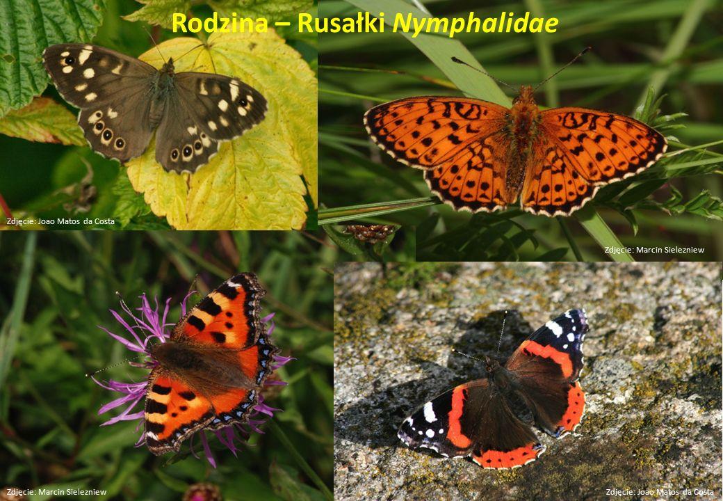 Rodzina – Rusałki Nymphalidae