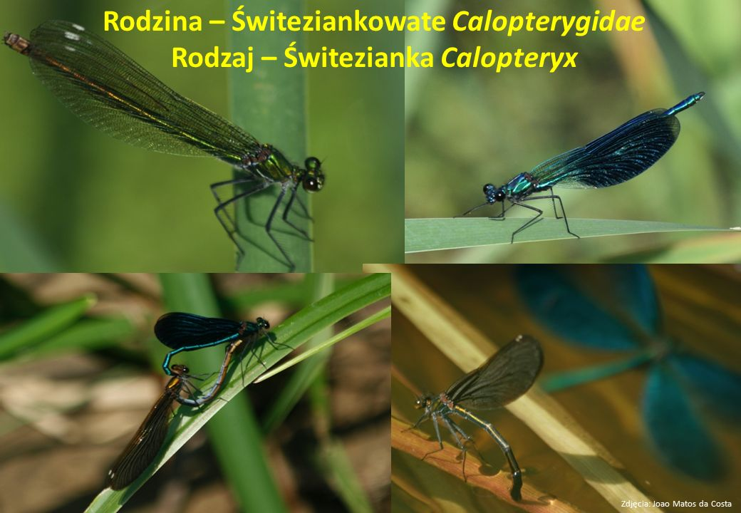 Rodzina – Świteziankowate Calopterygidae Rodzaj – Świtezianka Calopteryx