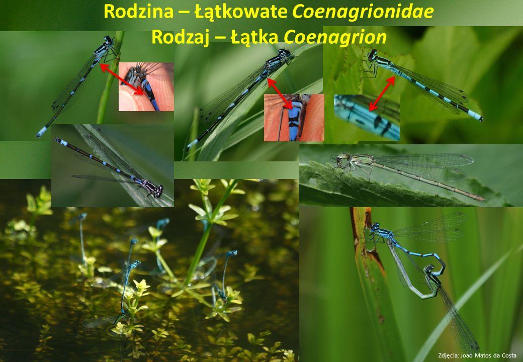 Rodzina – Łątkowate Coenagrionidae Rodzaj – Łątka Coenagrion
