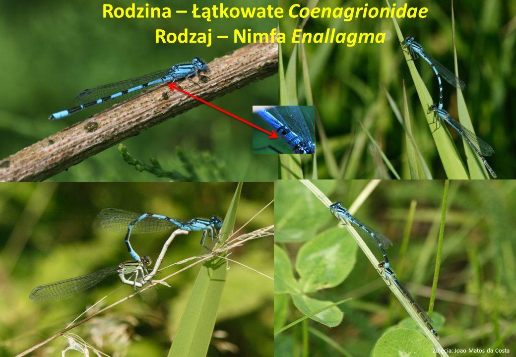 Rodzina – Łątkowate Coenagrionidae Rodzaj – Nimfa Enallagma