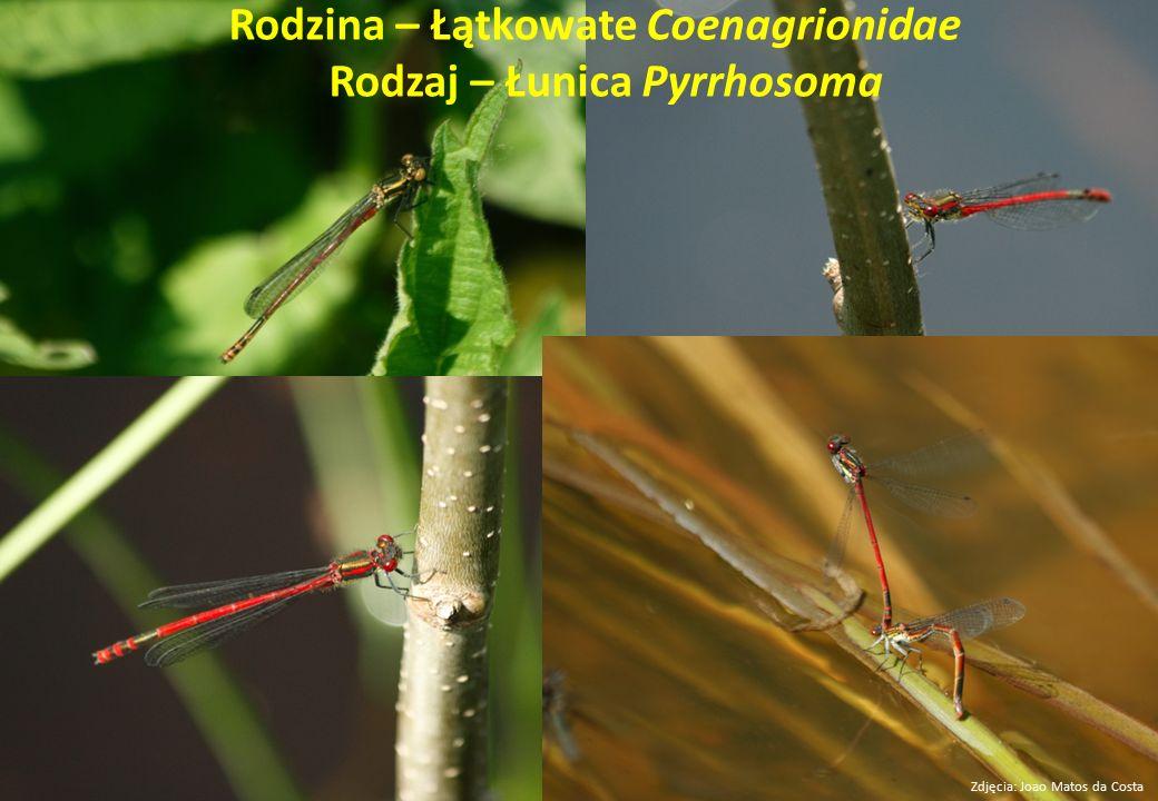 Rodzina – Łątkowate Coenagrionidae Rodzaj – Łunica Pyrrhosoma