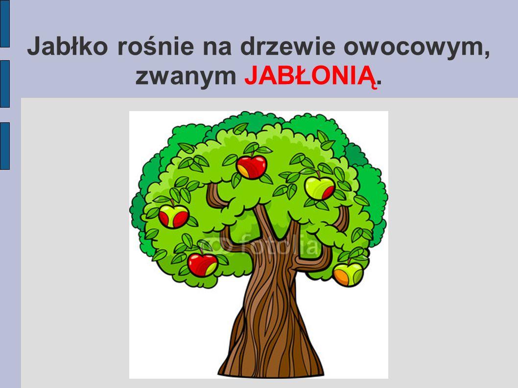 Jabłko rośnie na drzewie owocowym, zwanym JABŁONIĄ.