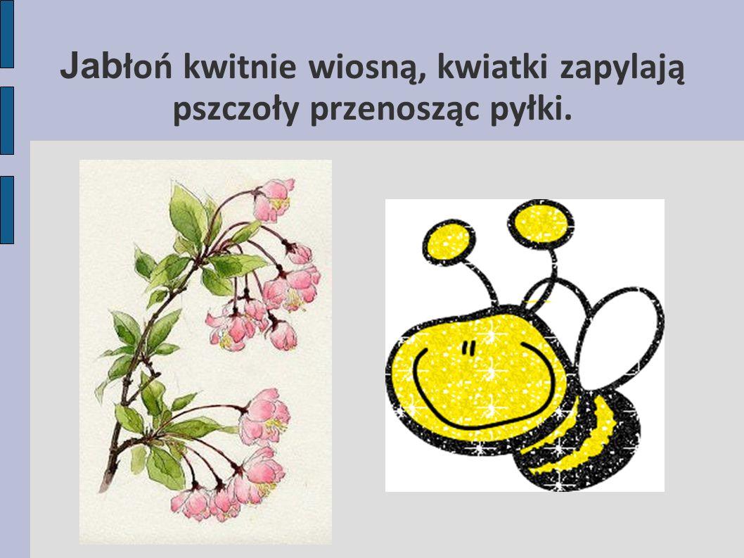Jabłoń kwitnie wiosną, kwiatki zapylają pszczoły przenosząc pyłki.