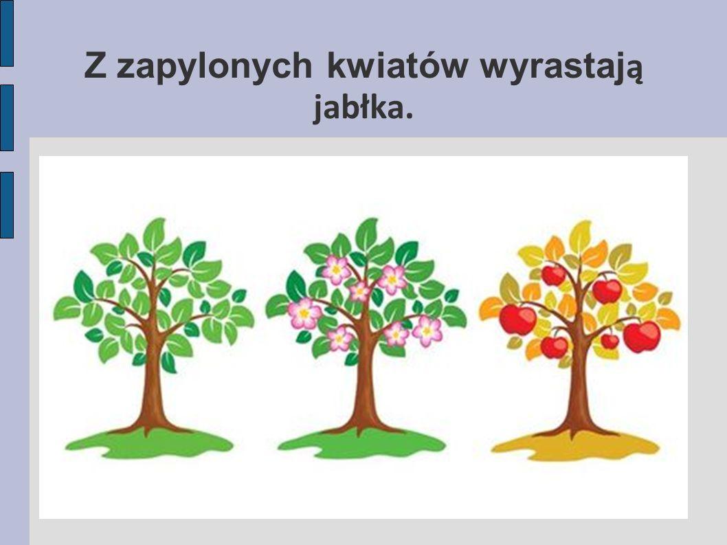 Z zapylonych kwiatów wyrastają jabłka.