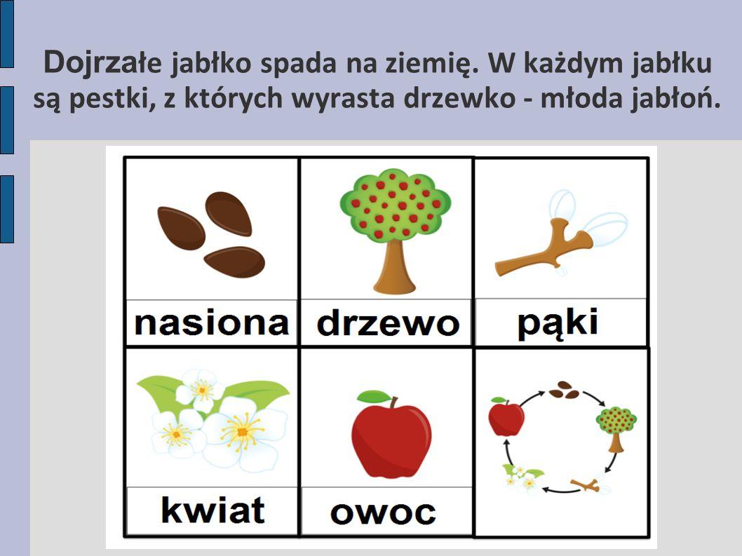 Dojrzałe jabłko spada na ziemię