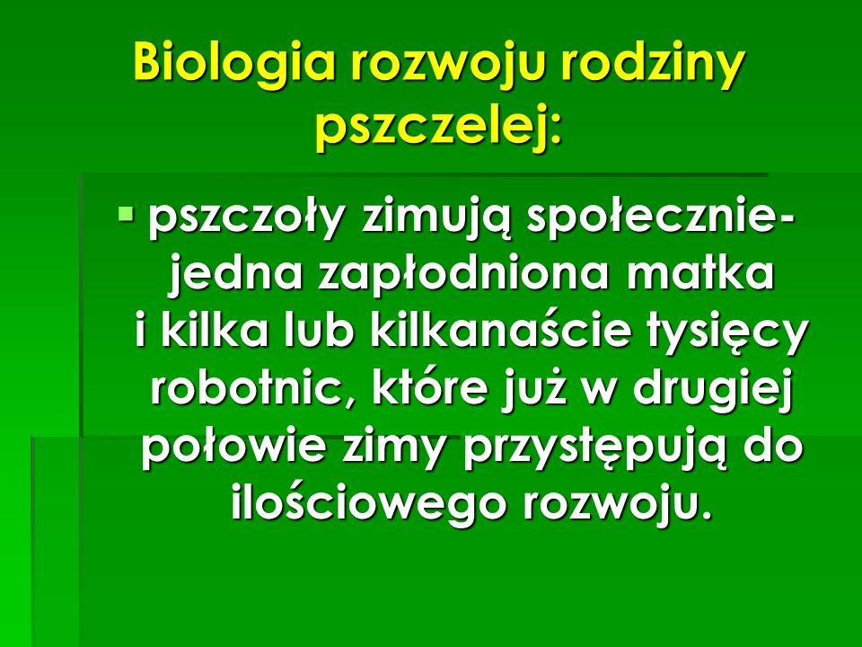 Biologia rozwoju rodziny pszczelej: