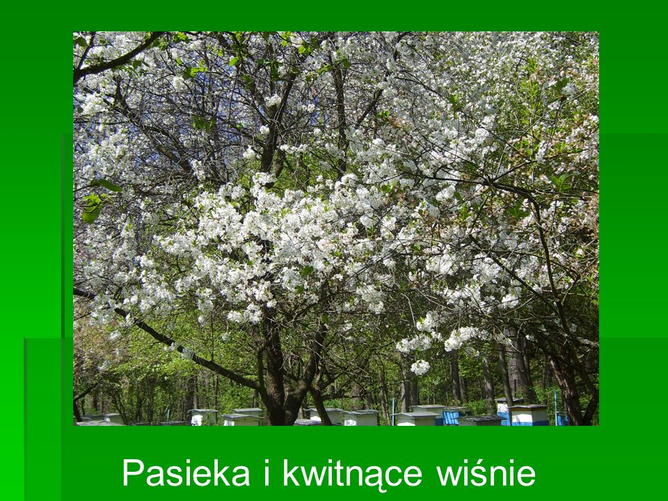 Pasieka i kwitnące wiśnie