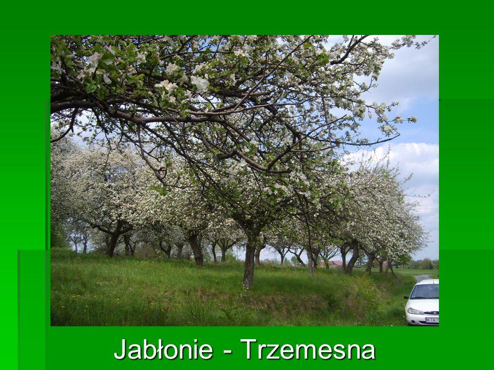 Jabłonie - Trzemesna