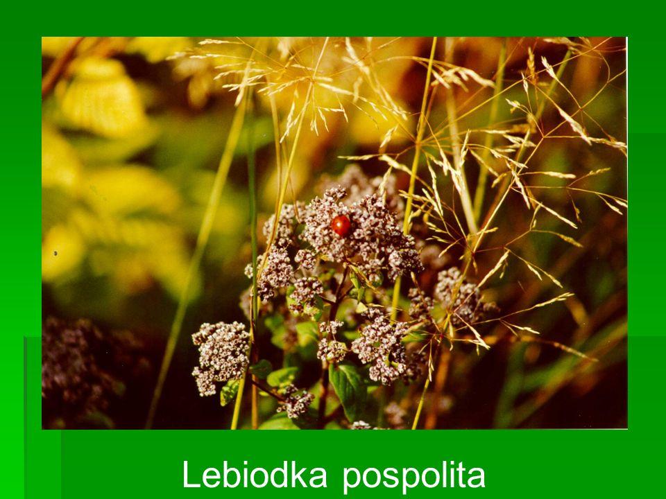 Lebiodka pospolita