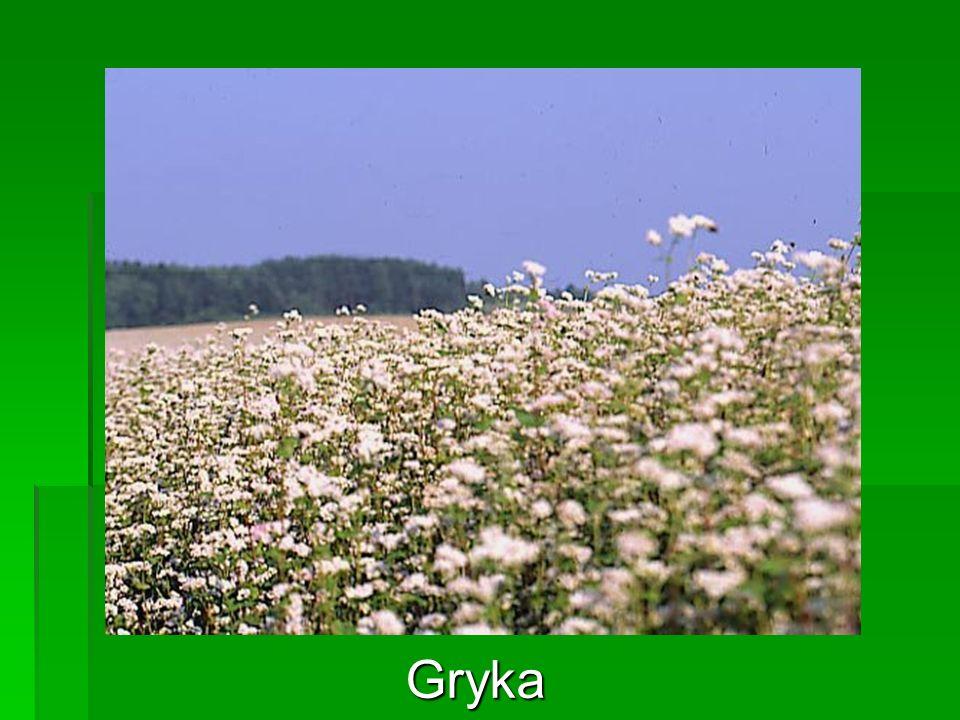 Gryka