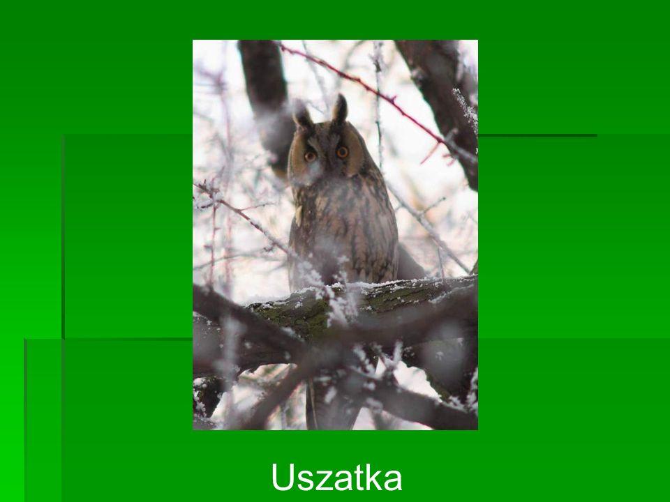 Uszatka