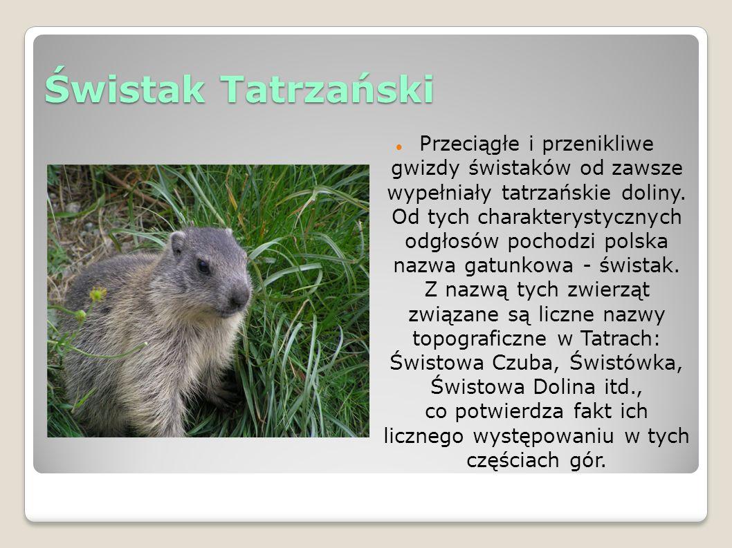 Świstak Tatrzański