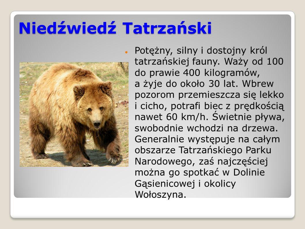 Niedźwiedź Tatrzański